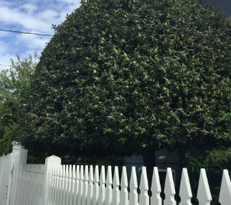 Round pruned tree behind white picket fence on sunny day